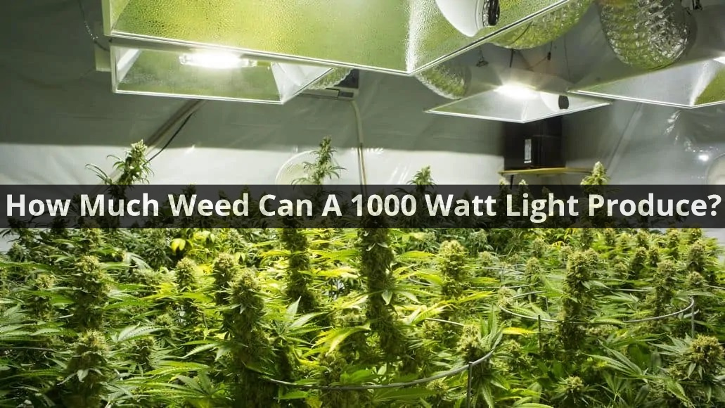 How Much Weed Can A 1000 Watt Light Produce?