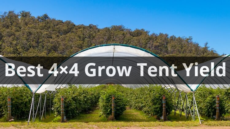 Best 4×4 Grow Tent Yield? Here's The Guide To Earn 2.5 Lbs